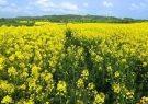 بیش از۷۰ درصد محصول کلزای استان در دهلران تولید می شود